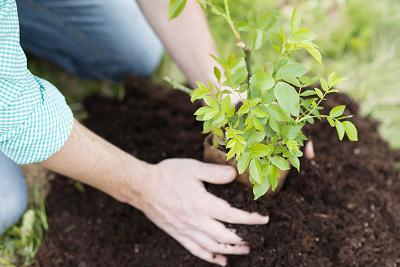 Hands planting a small tree