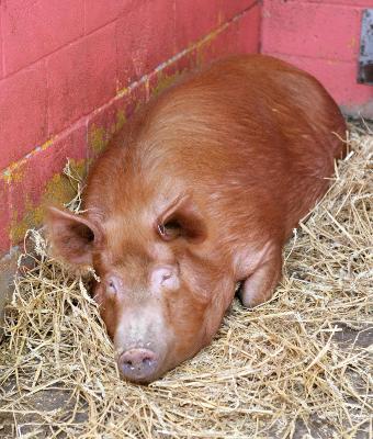 Pig at Bill Quay Farm