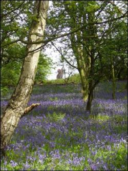 Bluebells in Longacre Wood